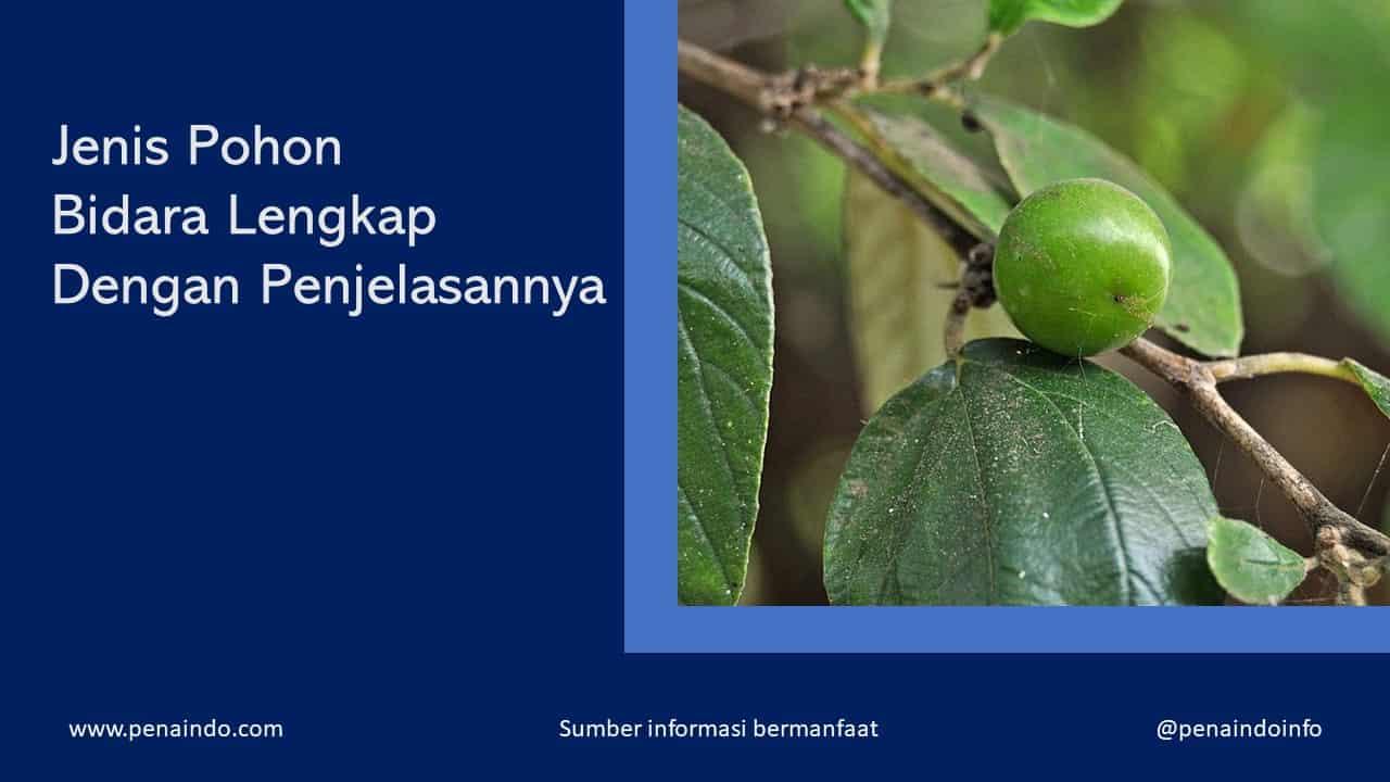 jenis pohon bidara