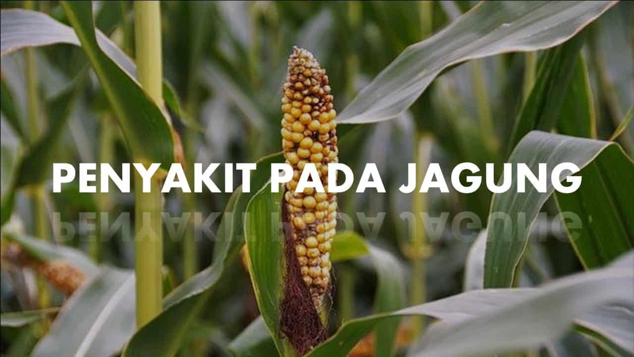 penyakit pada jagung