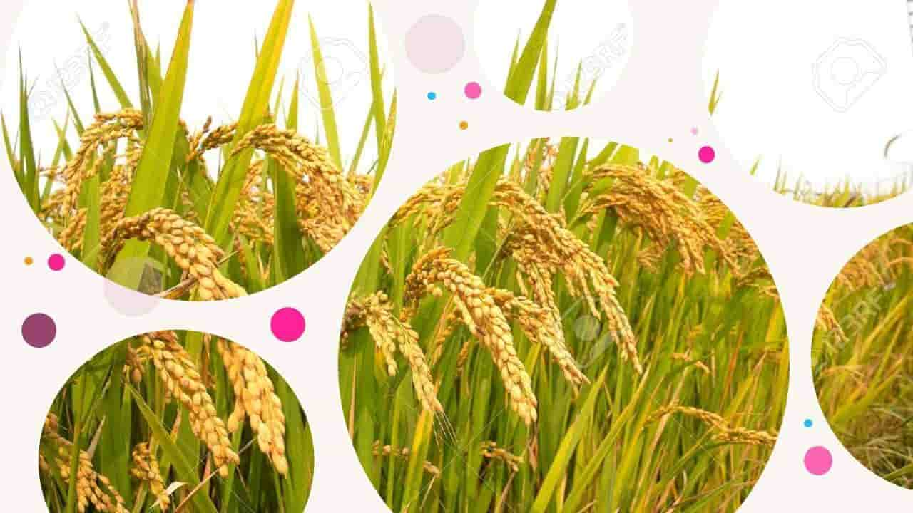sejarah tanaman padi