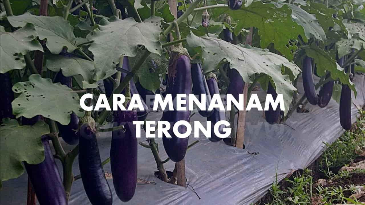 cara menanam terong